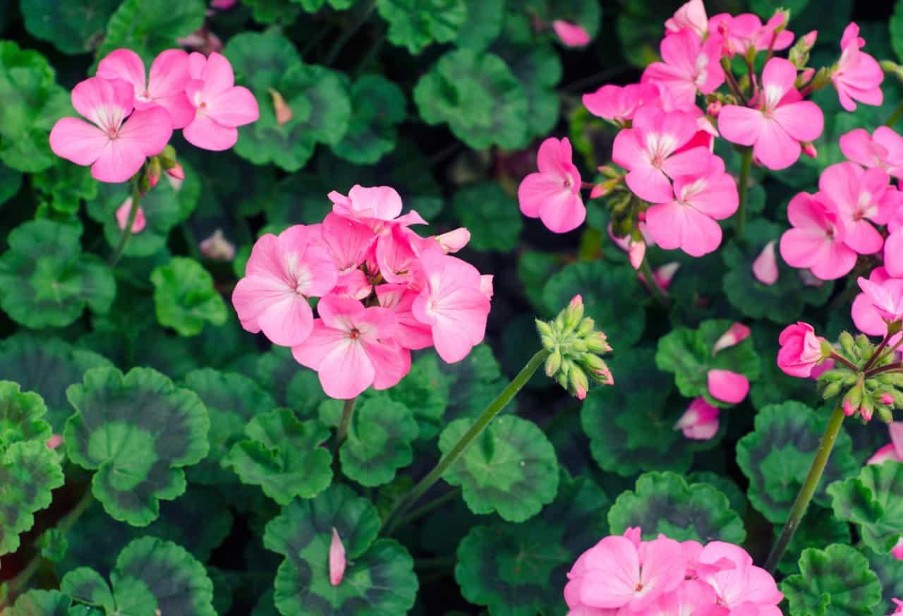 geraniums are shade or sun tolerant perennials for zone 6