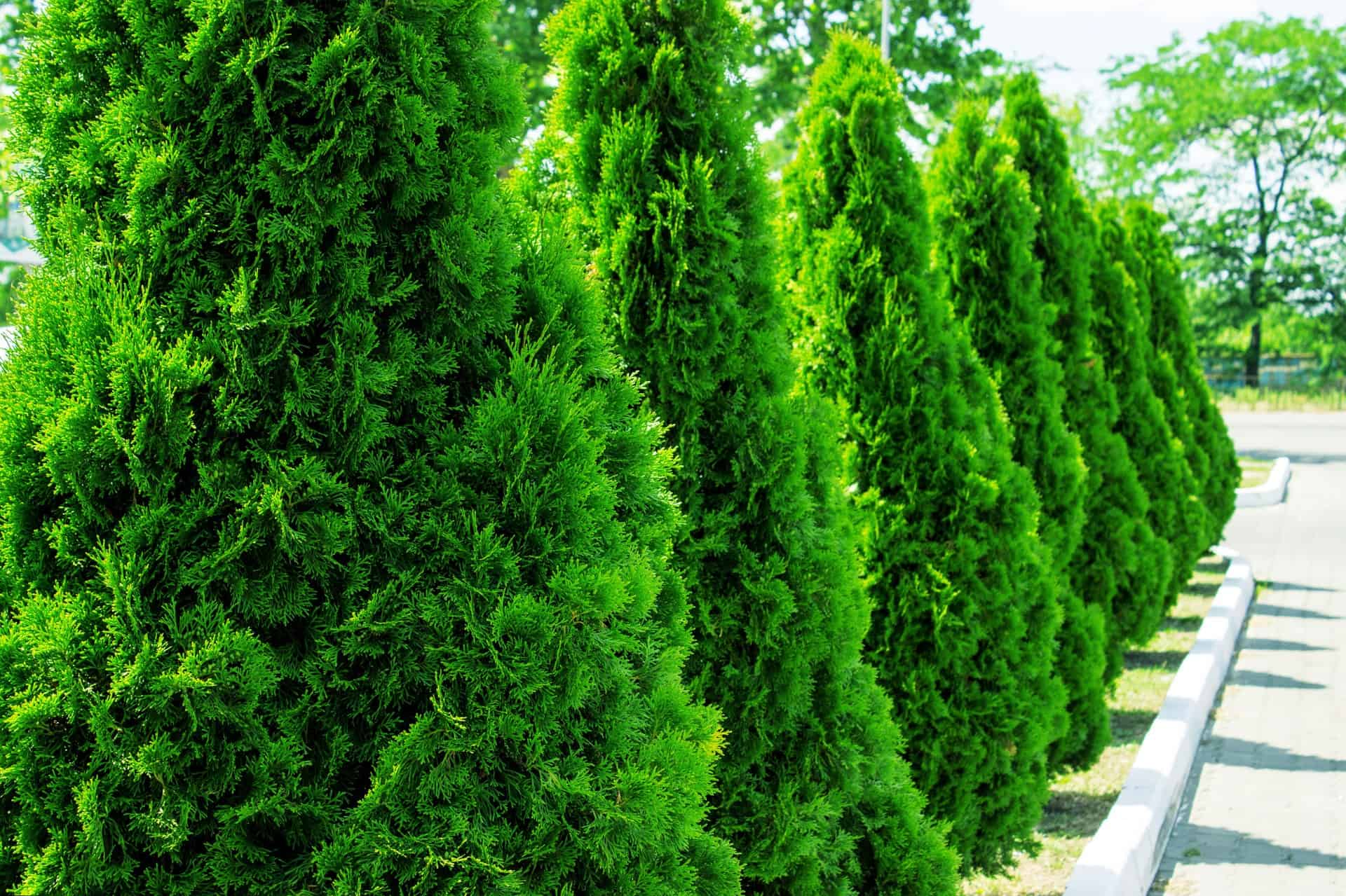 green giant arborvitae is a great tree for privacy