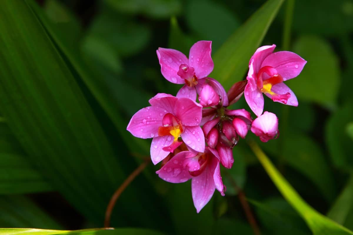 the ground orchid is a shade plant that is easy to grow