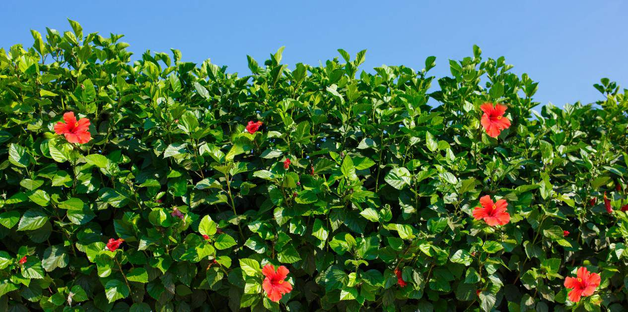 hibiscus is a fast growing bush that thrives in sunny locations
