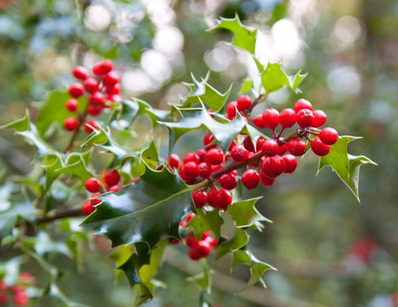 holly is the ideal fast growing plant for privacy