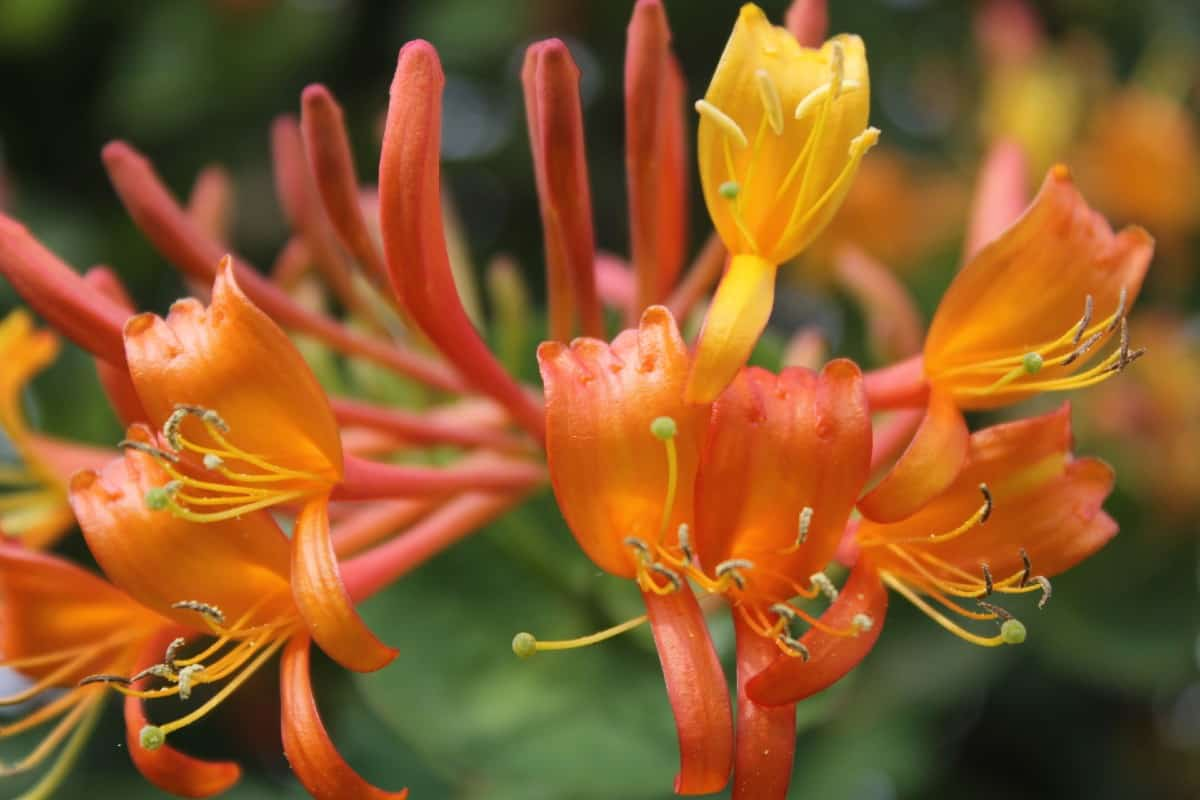 honeysuckle is an ideal outdoor plant for drawing hummingbirds to your yard
