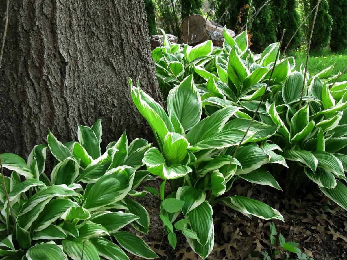 hosta thrives in the shade and couldn't be easier to grow