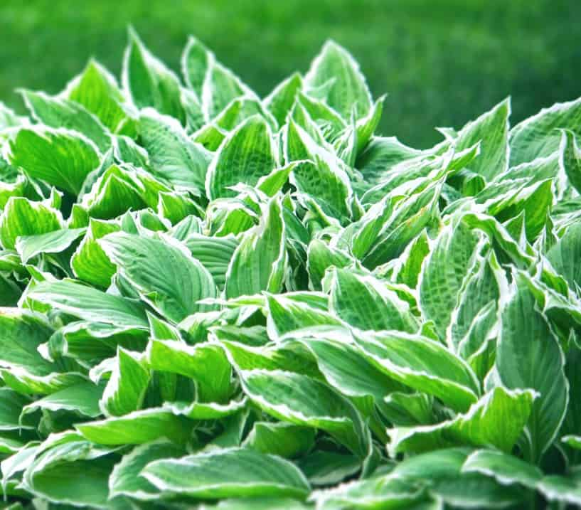 hosta are also called plantain lilies and are perennial shade flowers