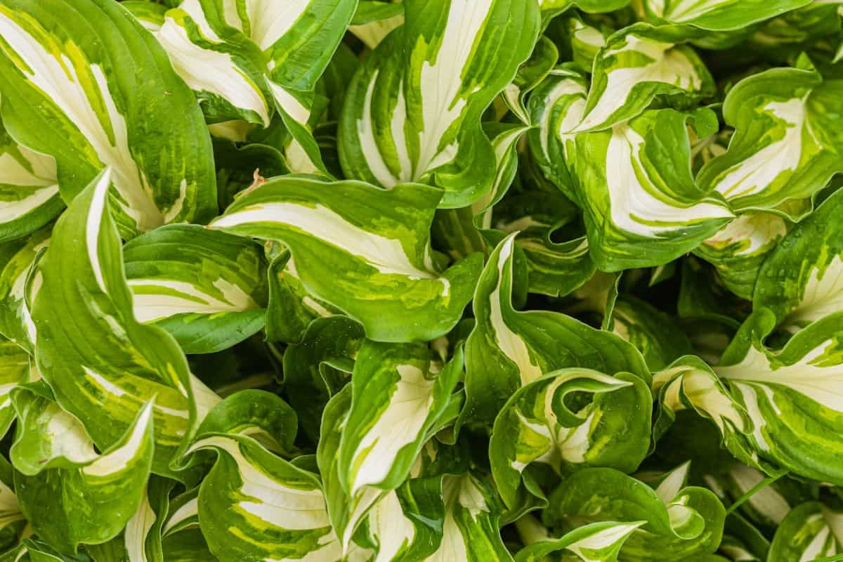 hosta is an outdoor plant that is easy to grow in the shade