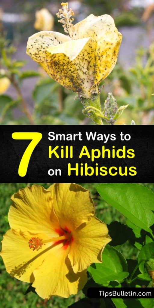Learn how to get rid of aphids on hibiscus plants using dish soap and ladybugs. Our guide shows you the best ways to kill aphids on houseplants so you don't have to deal with aphid honeydew on your windows. We give you pest control tips for your hibiscus. #aphids #hibiscus #pestcontrol