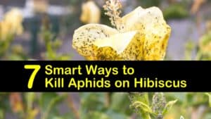 how to get rid of aphids on hibiscus titleimg1