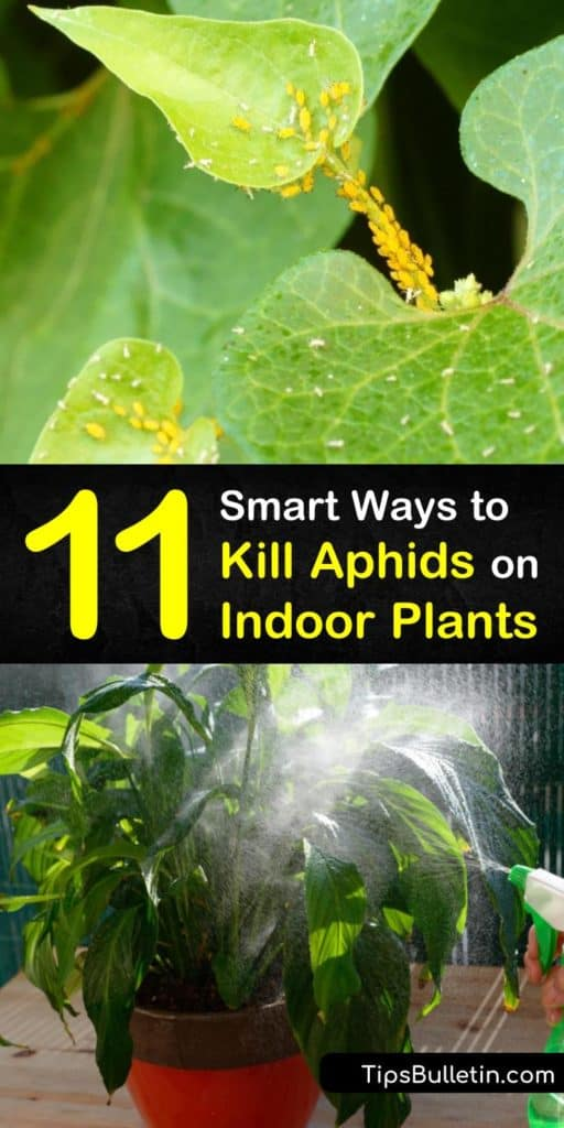 Try these recipes for how to get rid of aphids on houseplants. Use natural ingredients like neem oil and baking soda to eliminate the aphid infestation on indoor plants. These remedies also treat other common pests, such as mealybugs, whiteflies, and spider mites. #pest #control #aphids #houseplants