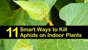 how to get rid of aphids on houseplants titleimg1