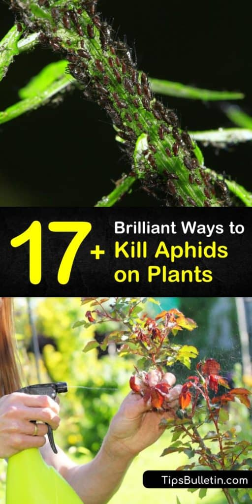 Aphid infestations create problems, including sooty mold from honeydew and unhealthy plants. To get rid of aphids, use natural predators like lacewings and other beneficial insects, dish soap in a spray bottle and neem oil to kill them and their eggs. #aphids #getridofaphids #howtokillaphids