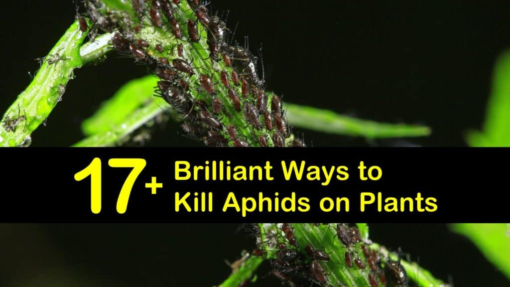 how to get rid of aphids titleimg1