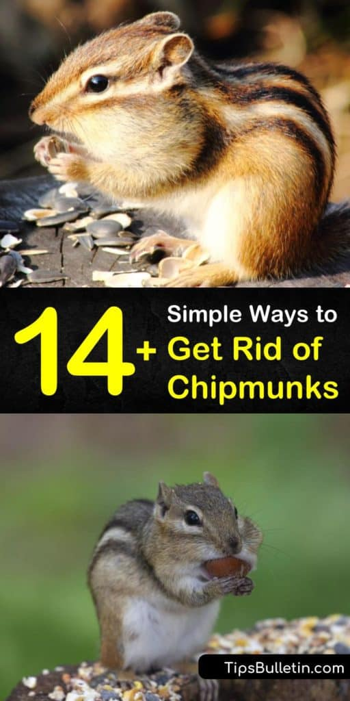 If you want to know how to get rid of chipmunks, these simple tips stop them from burrowing in your yard. Discover which smells and sounds keep chipmunks away, including mothballs, pepper, and garlic. Find out which bait works best for a live trap, like peanut butter. #rid #chipmunks #control #pest