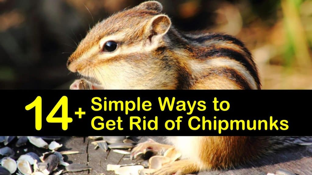how to get rid of chipmunks titleimg1