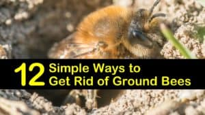 how to get rid of ground bees titleimg1
