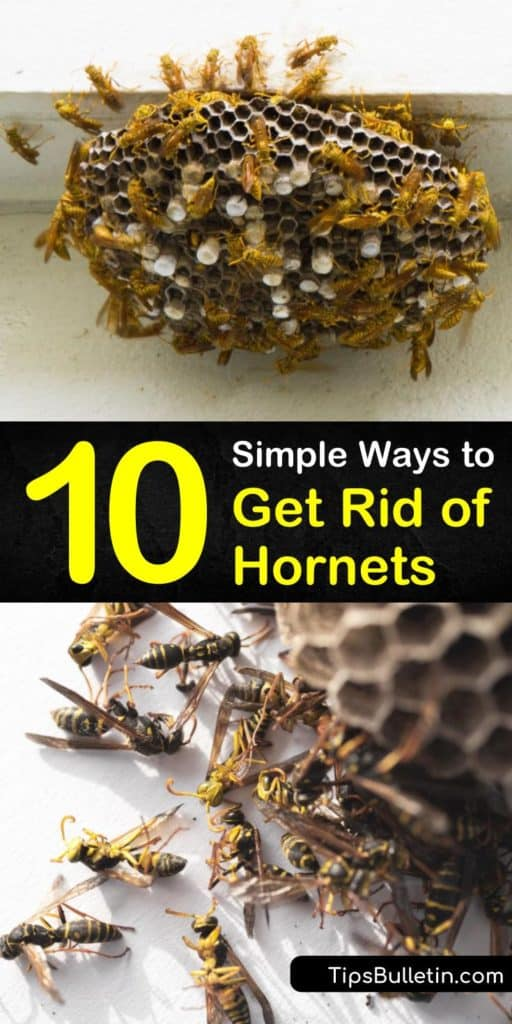 Learn how to get-rid-of-hornets and a wasp nest before they become a bigger problem in late summer. Prevent an infestation and get rid of wasps and bald faced hornets safely by wearing protective clothing and applying insecticide. #hornets #getridofhornets #hornetremoval
