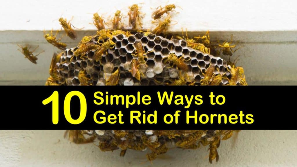 how to get rid of hornets titleimg1