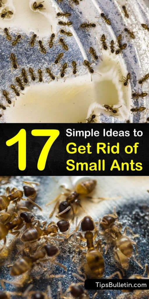 Learn how to get rid of ants and prevent an ant infestation without having to call in pest control. Eliminate sugar ants, black ants, and carpenter ants by using homemade remedies and prevent an ant problem by sealing off entry points to the home. #getridoftinyants #smallants #remedy