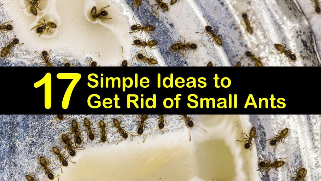 17 Simple Ideas To Get Rid Of Small Ants