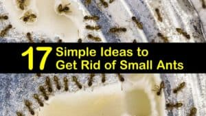 how to get rid of tiny ants titleimg1