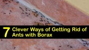 how to kill ants with borax titleimg1
