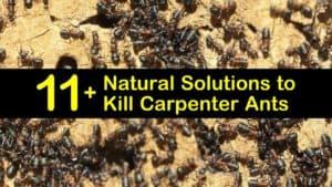 how to kill carpenter ants titleimg1