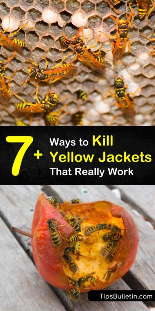 While yellow jackets are as beneficial to the environment as honeybees, they are more aggressive when defending food sources. Learn how to use pest control to remove nests in wall voids, as well as an underground nest and aerial nests. #yellowjacketkiller #killyellowjackets #yellowjacket