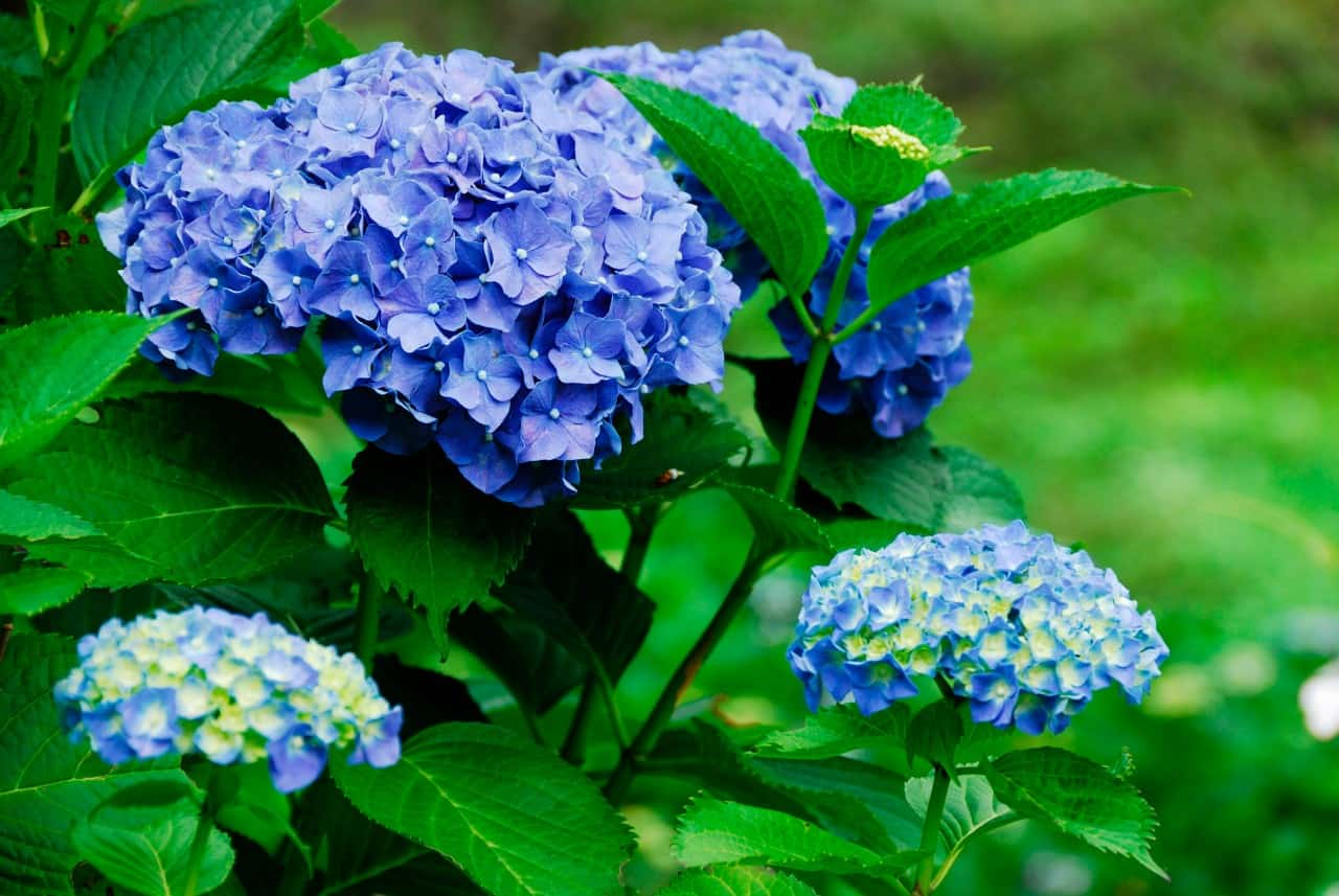 hydrangeas are fast growing, showy shrubs