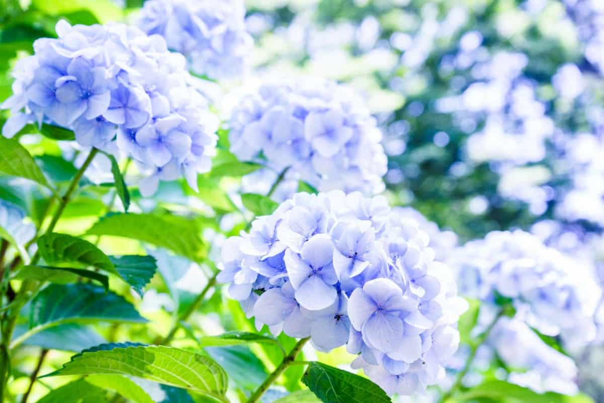 plant the easy growing hydrangea for its excellent blooms