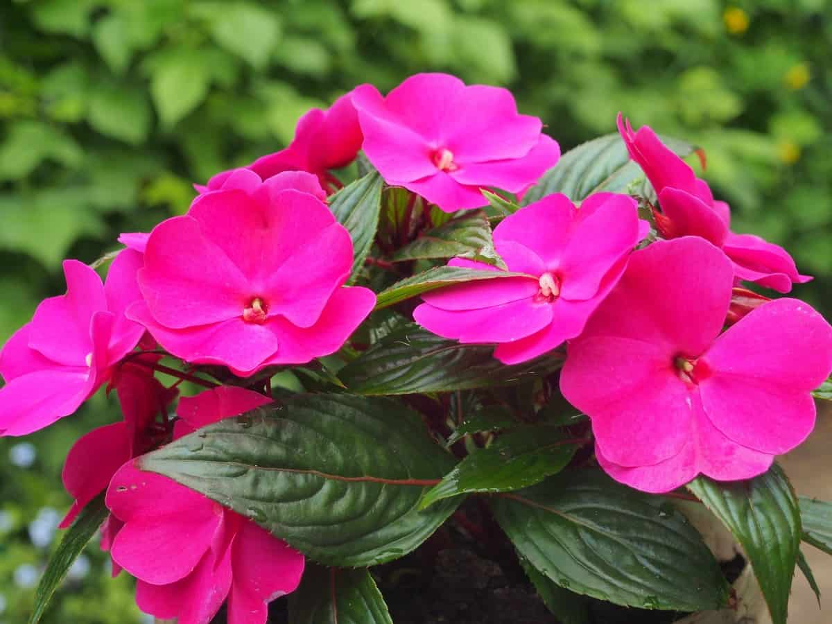 impatiens loves shade but can tolerate a little sun