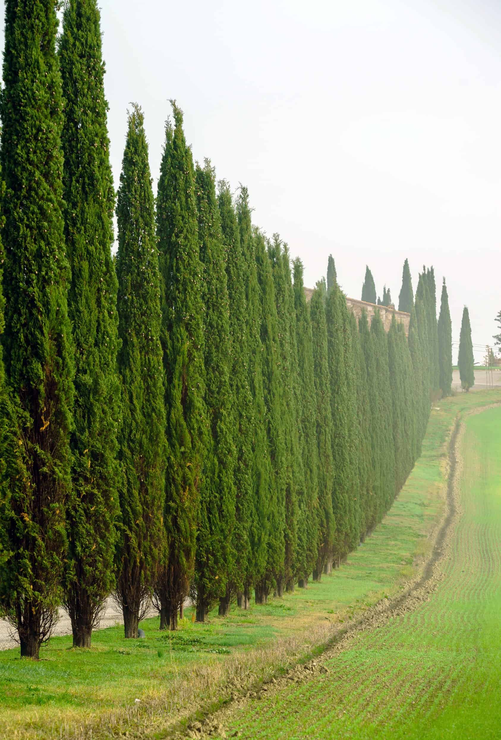the Italian cypress has a perfectly-shaped column that is ideal for a border