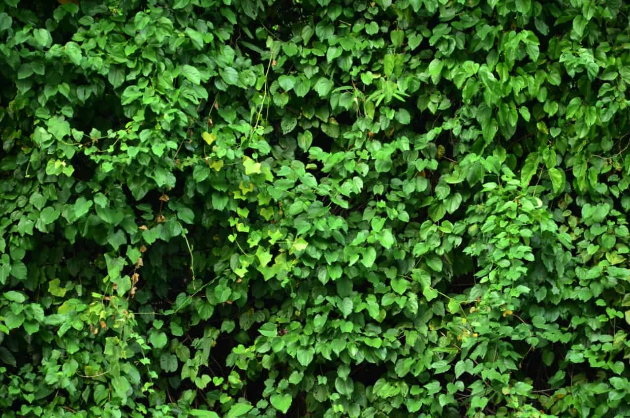 ivy creates a fast growing privacy fence easily