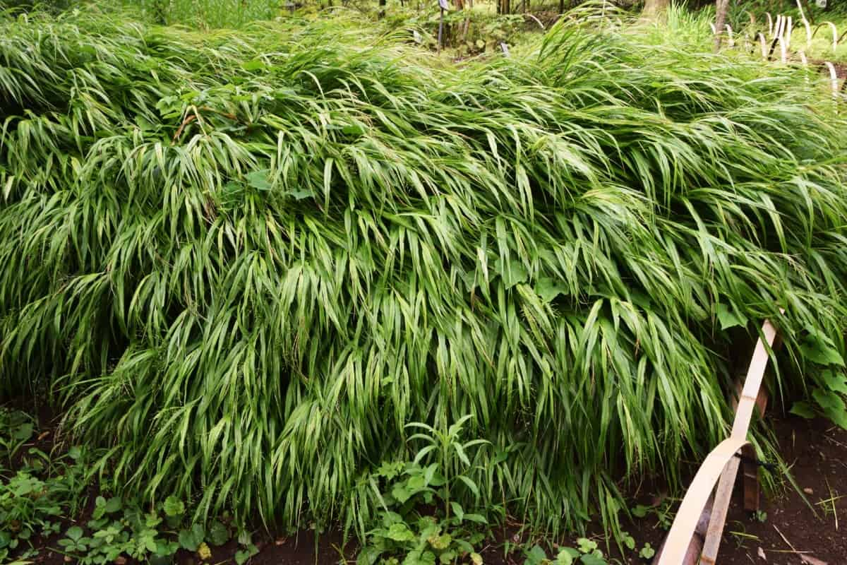Japanese forest grass is also known as Hakone grass