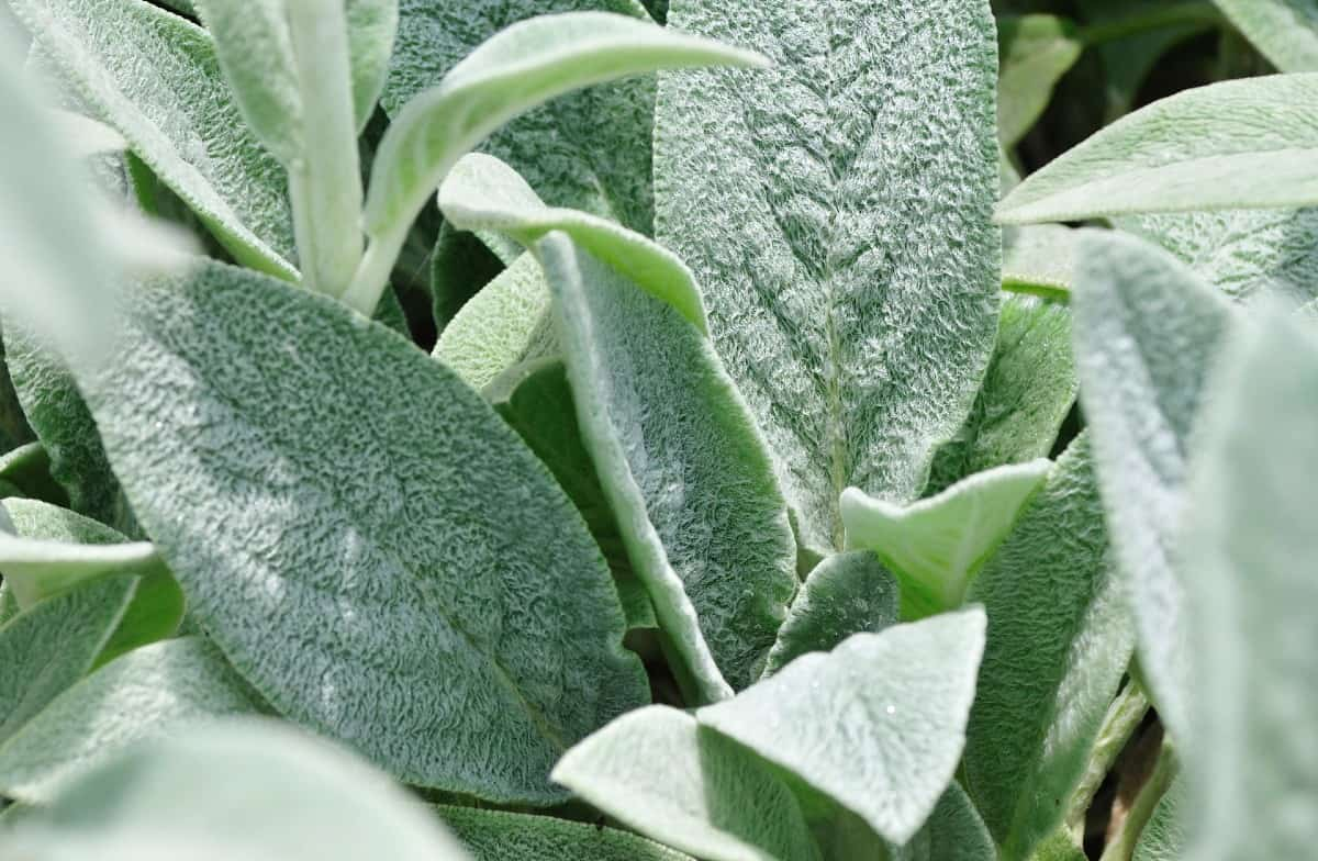 lamb's ears have a wonderful fuzzy texture on the foliage