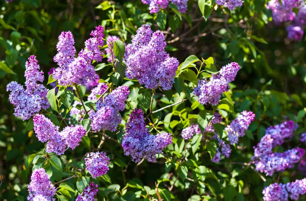 lilac shrubs attract all kinds of pollinators