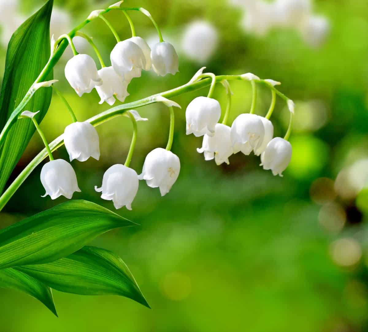 lily of the valley has a delightful fragrance