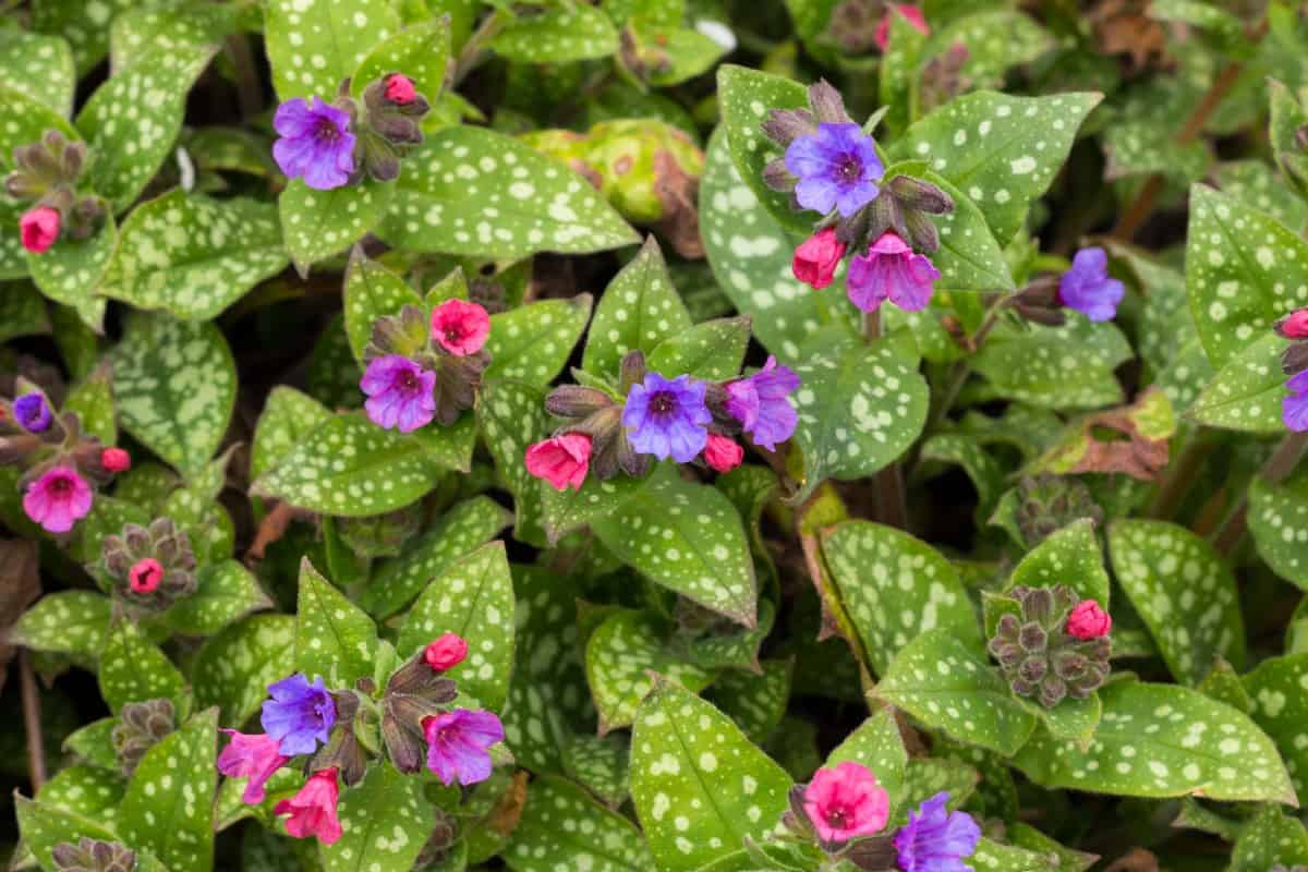 lungwort is easy to grow and long-lasting