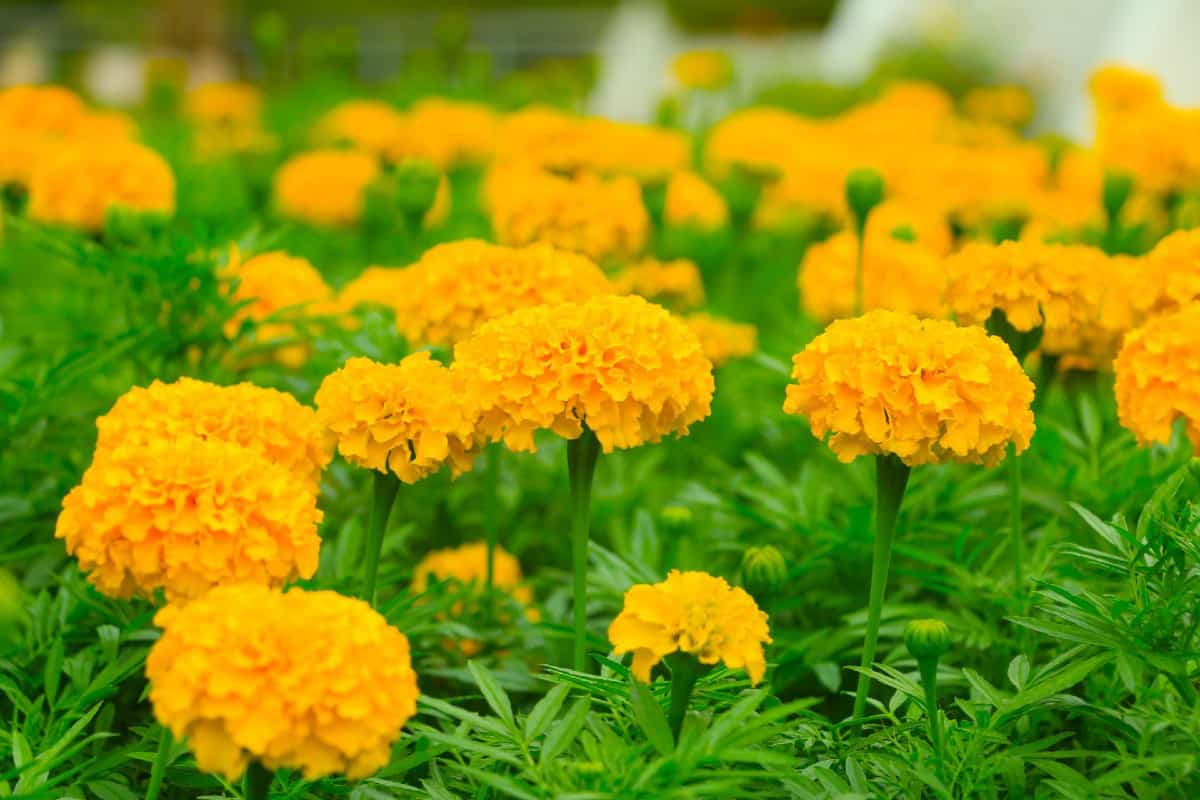 marigold is an easy to grow annual that is also deer-resistant