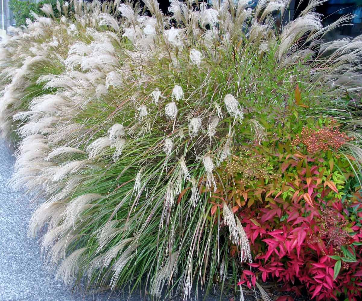miscanthus is a beautiful ornamental grass
