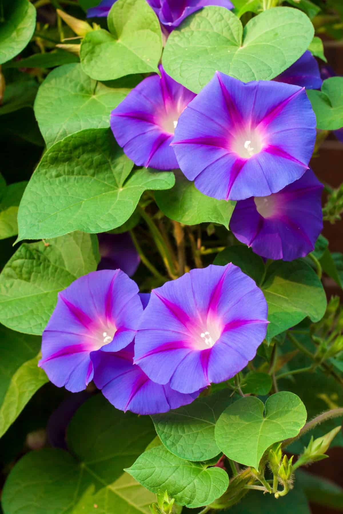 morning glory flowers open in the morning and die by the same night