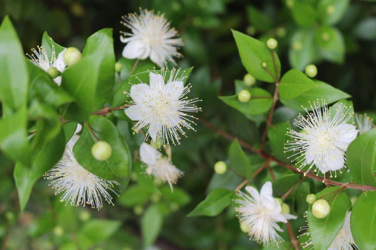 the myrtle is an evergreen with berries and pretty flowers