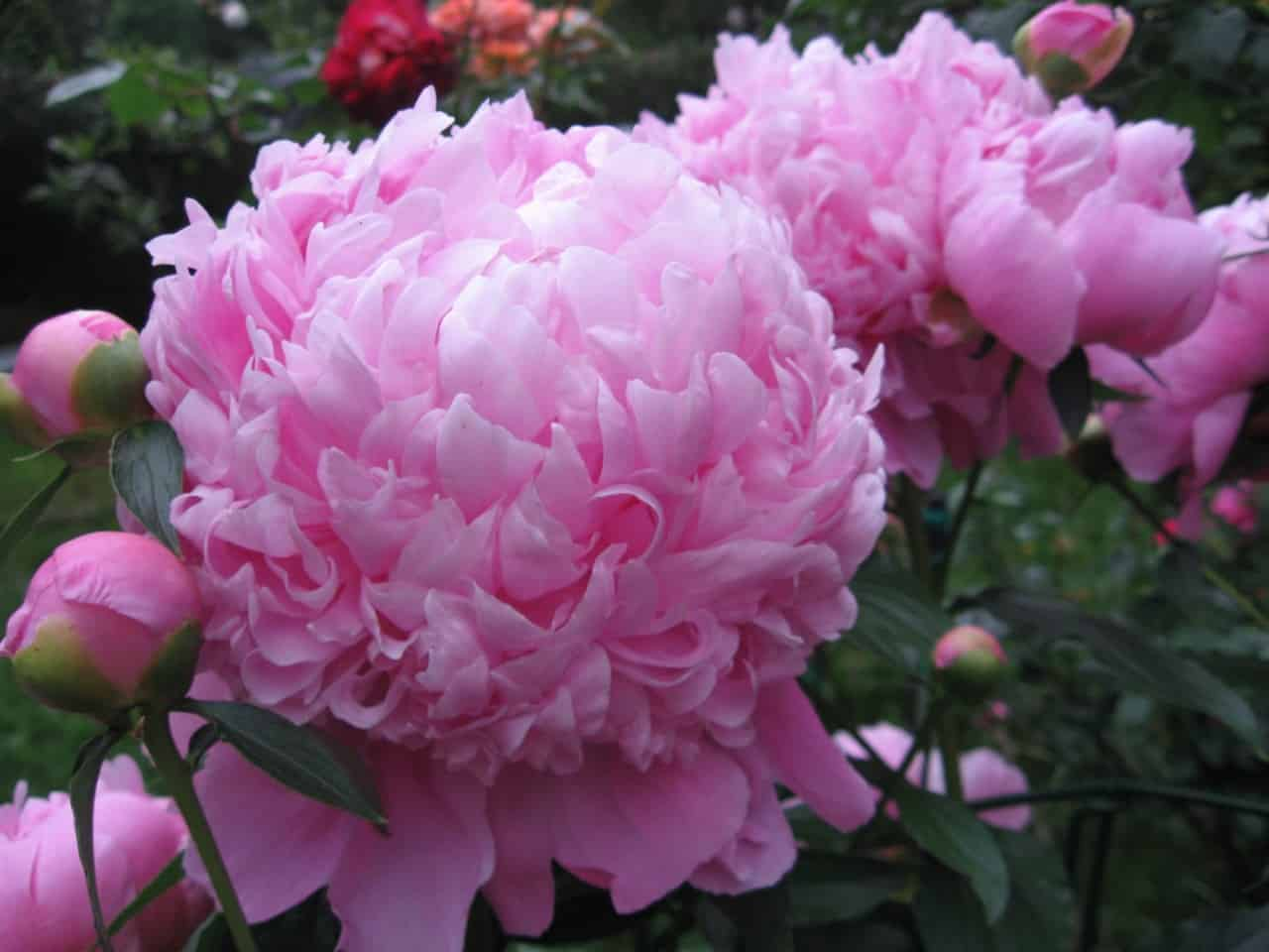 the peony is an amazing cut perennial