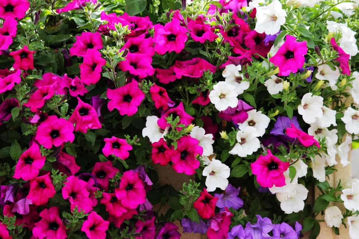 grow petunias outdoors or in a container inside
