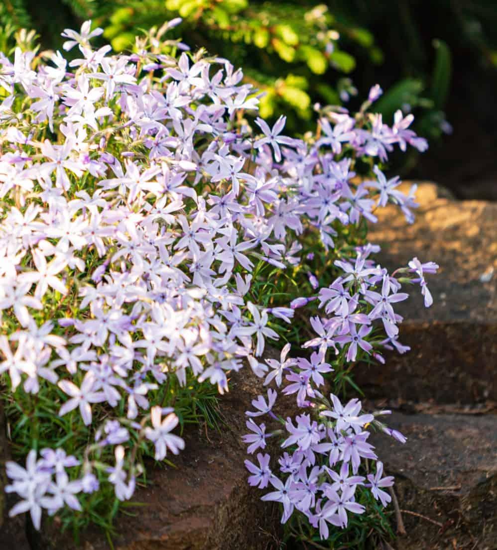phlox makes a great border flower