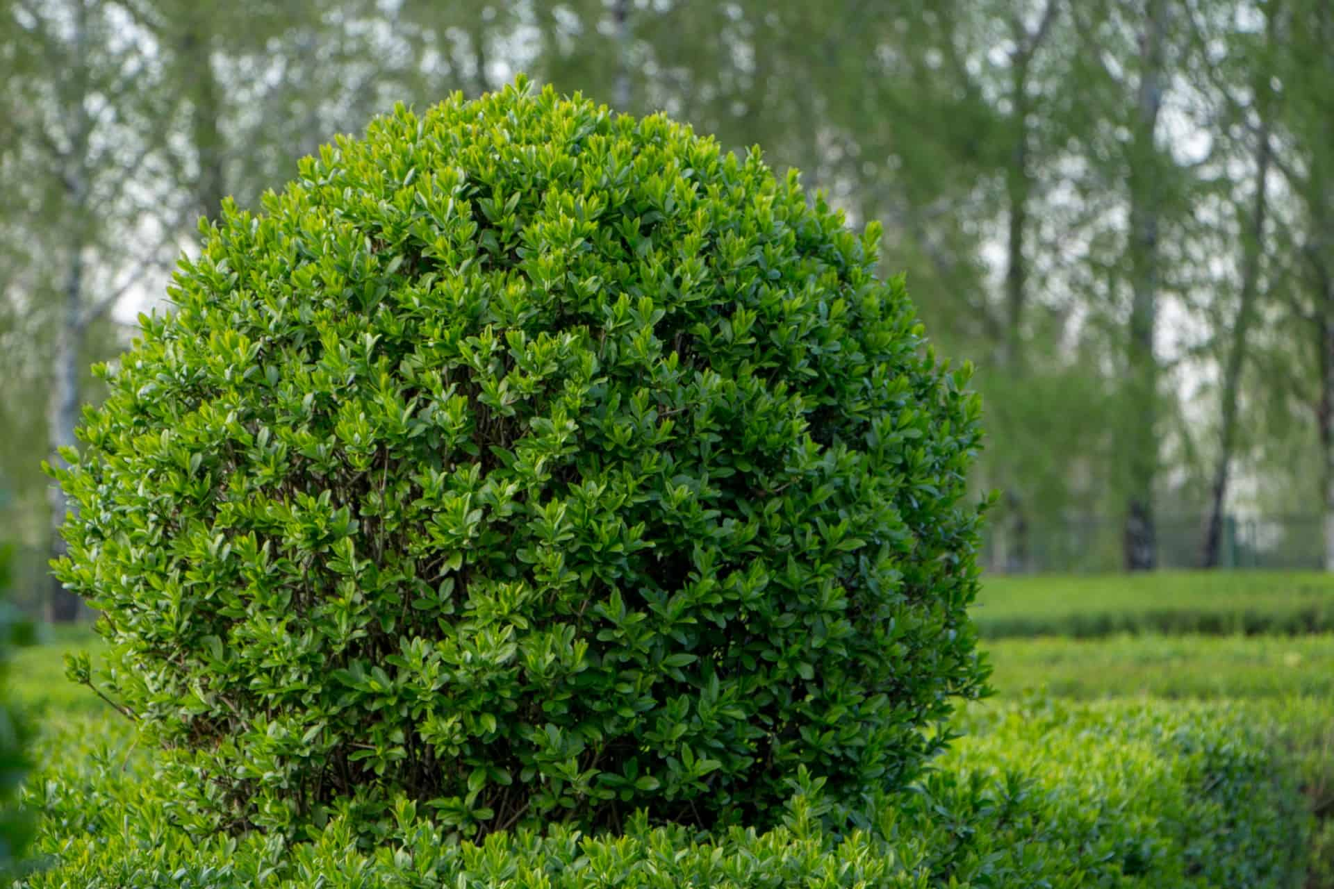 a privet hedge is an evergreen that keeps color all year