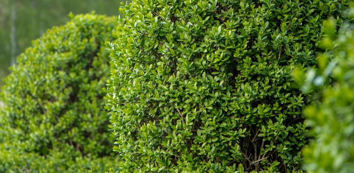 privet makes the perfect living fence that loves the sun