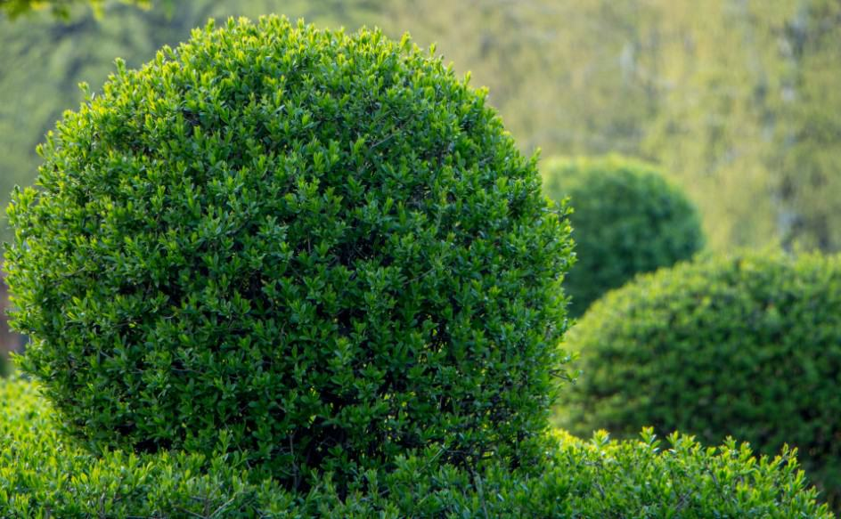 enjoy privet's lush foliage in your natural privacy fence