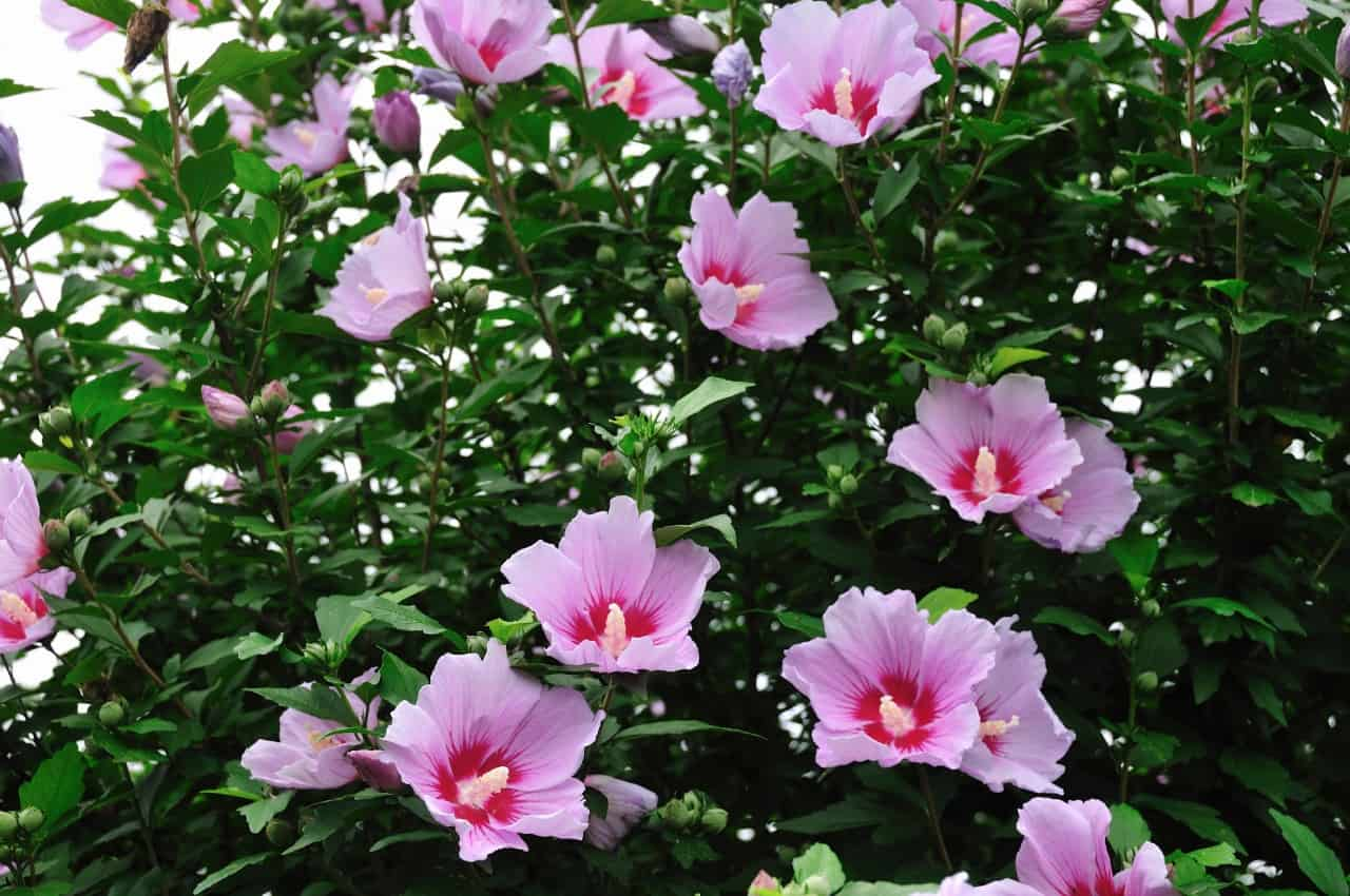 Rose of Sharon is perfect for privacy