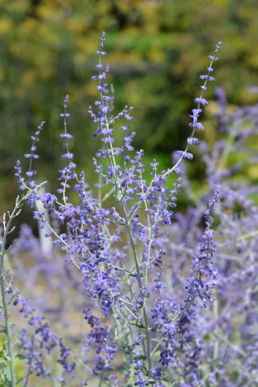 Russian sage attracts all types of birds