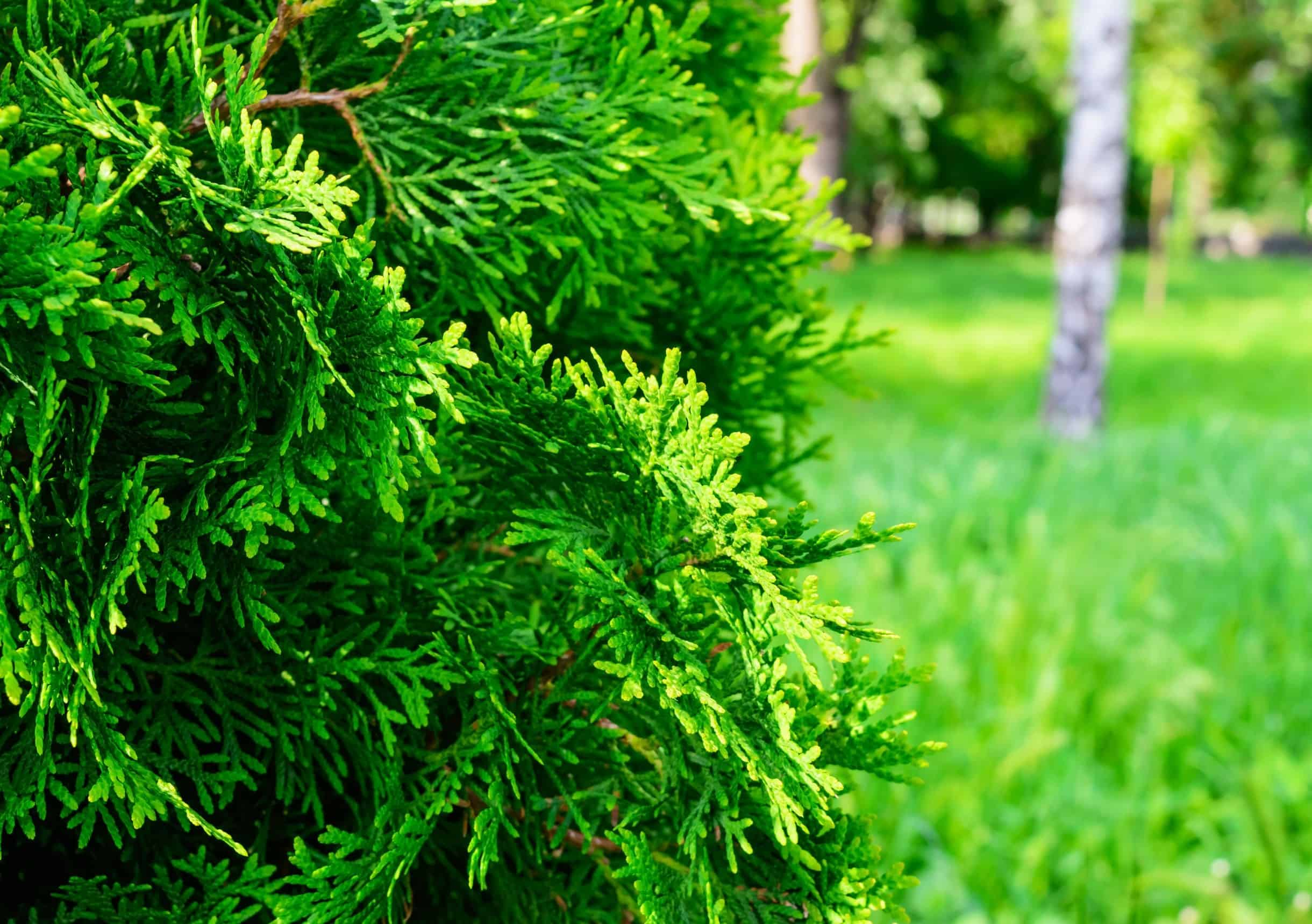 the spartan juniper is an amazing privacy tree