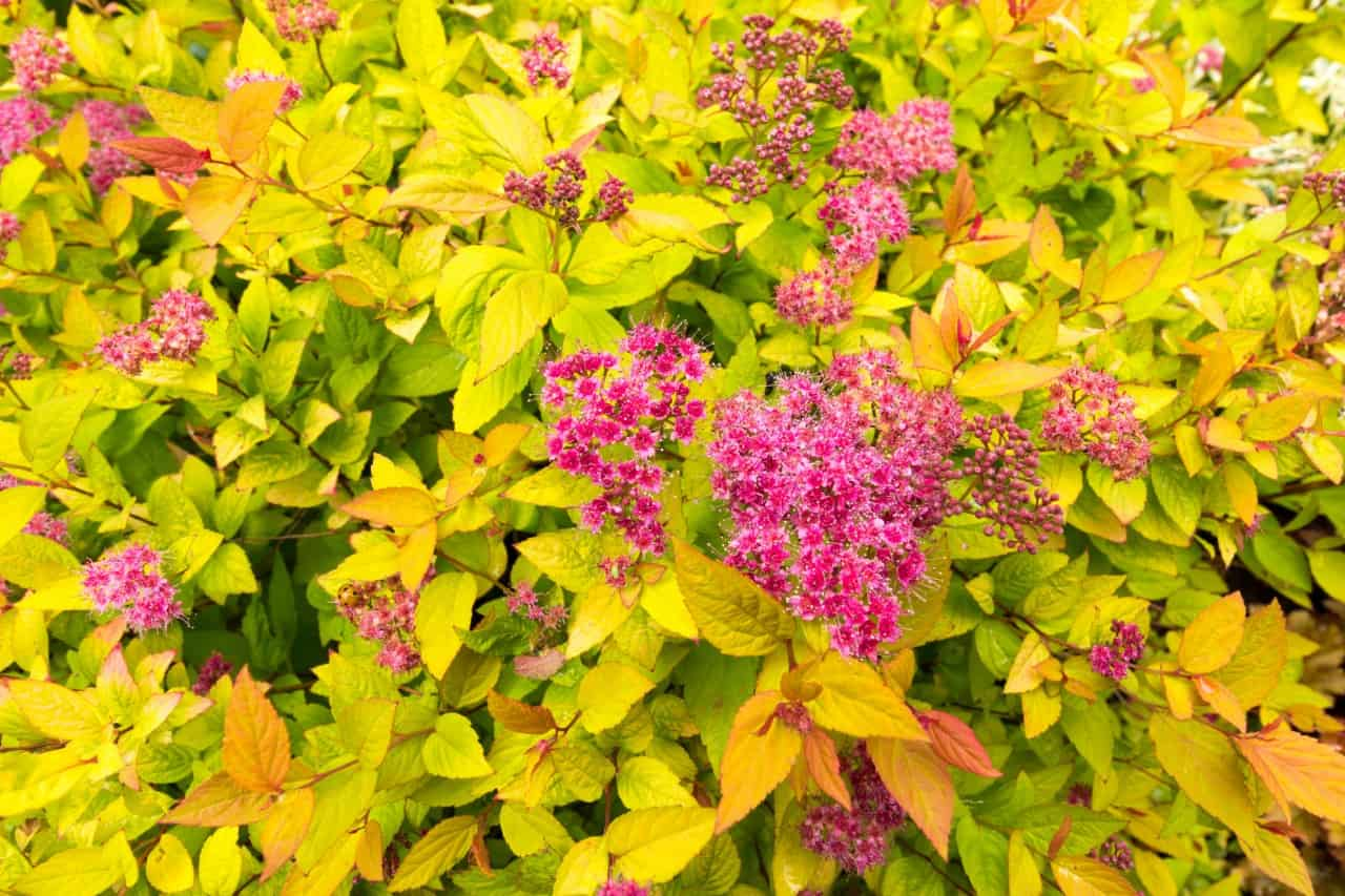 the spirea is a fast growing shrub for full sun